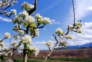 Spring Orchards